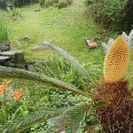 吉野川市の江川湧水源で見た蘇鉄の花です。              ・名選の水湧く水辺花蘇鉄(和良)