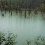美瑛町の白金温泉のすぐ近くにある青い池です。観光客で賑わっていました。                  ・水澄みて青の極まる青い池(和良)