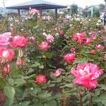 藍住町の薔薇園では大勢の人が薔薇祭に来ていました。          ・薔薇祭甘い香りに満ち満ちて(和良)