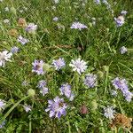 松虫草の群生があちらこちらに見られる榛名山の花野でした。      ・群れ咲ける松虫草に淋しさも(和良)