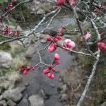 明谷梅林で見た紅梅です。例年より開花が遅いようです。 ・まだ蕾なれど紅梅紅ほのか (和良)