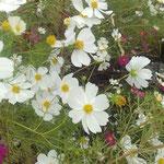 コスモスは倒れてはいるのですがなお美しく咲いていました。  ・倒れてもコスモスの花美しく(和良)