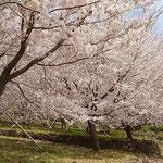 徳島市のとくしま植物園の市民の森では鶯も燕もいました。       ・鶯は背より燕は目の前を(和良)
