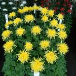 新宿御苑の江戸菊花壇の菊には江戸っ子の粋と啖呵を感じました。    ・江戸っ子の粋と啖呵や菊の花(和良)