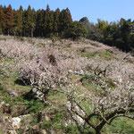 明谷梅林の手前の沢の梅林では臥龍梅の古木が花を連ねていました。           ・岩を抱き大地をつかみ臥龍梅(和良)