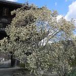 阿波市土成町の熊谷寺山門の白木蓮です。今を盛りに咲き満ちていました。  ・はくれんの大球形に咲き満ちて(和良)