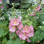 富良野のホテルの庭園に立葵が咲いていました。             ・立葵富良野は蝦夷のど真ん中(和良)