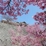 松山城の桜です。満開になっていました。                         ・見るほどに咲き満ちてくる桜かな(和良)