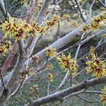 文化の森の満作は花をほころばせ始めていました。                                   ・満作の花のほころぶ日和かな(和良)