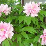 上野東照宮の春の牡丹祭りには多くの外国人の姿が見られました。    ・外つ国の人で賑はふ牡丹苑(和良)