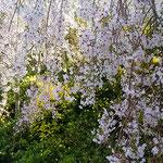 花見山にはたくさんのしだれ桜が植えられており人気を呼んでいました。 ・しだれ桜しだれ桜とつづく道(和良)
