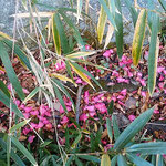 椿園の道端にこぼれ散っている山茶花は瑞々しかったです。       ・山茶花の散り敷く赤の瑞々し(和良)