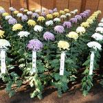 新宿御苑の大菊花壇の大菊は鉢がなく直接地面に植えられていました。  ・鉢植の一つとてなき菊花展(和良)