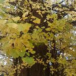 大銀杏の黄葉をよく見るとまだ緑の残っているものから黄色まで多彩でした。  ・大銀杏黄葉の色の多彩さよ(和良)