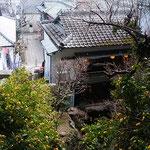 徳島市眉山町大滝山の滝のやき餅屋に黄花亜麻が咲いていました。    ・黄花亜麻咲き雛飾るやき餅屋(和良)