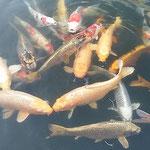 ホテルの池では隅に固まっていた鯉が朝の光を浴びて動き出しました。 ・固まりてゐし寒鯉の動く朝(和良)