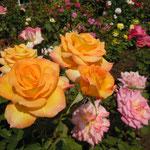 黄色い薔薇は黄金色に輝いて見えました。                                         ・日を浴びて輝く薔薇の黄金色(和良)