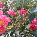 阿南市の椿自然園の温室で見た大きな椿です。             ・熱帯の樹木のやうな大椿(和良)