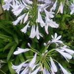 藍住町で見たアガパンサスは路地裏にひっそりと咲いていました。 ・路地裏にアガパンサスの花可憐(和良)