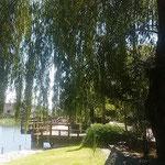 鴨島公園のある江川の岸辺に大きな夏柳が茂っていました。       ・川縁に寄れば涼しき風の来る(和良)