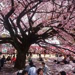 総理主催の「桜を見る会」の後も新宿御苑は花見客で一杯でした。       ・招かるる桜吹雪のお花見に(和良)