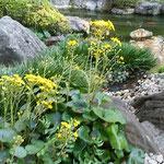 高輪のホテルの池の周りの石蕗の花は朝の光を受けて輝ていました。  ・石蕗の花巡れば池を巡る庭(和良)