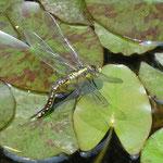 鎌倉の長谷寺の名ばかりの小さな池に蜻蛉が棲みついていました。        ・いつまでも水を離れぬ蜻蛉かな(和良)
