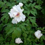 観音寺に咲き残っていた牡丹は少し小振りでした。   ・咲き残る牡丹の少し小振りかな(和良)