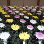 一文字菊は一重咲きで花びらが平たく御紋章菊と呼ばれています。    ・一文字菊は単弁しとやかに(和良)