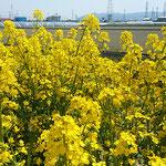 遥かに眉山も見えて長閑な風景が広がっていました。          ・菜の花や平和な日本ありがたく(和良)
