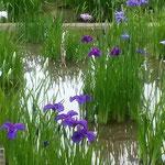 咲き始めたばかりの菖蒲はきりりとしていました。           ・咲き初めし御苑の菖蒲凛として(和良)