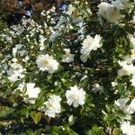 皇居東御苑では山茶花が日差を浴びて咲き競っていました。                             ・山茶花のあたりに日差集りぬ(和良)