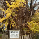 石井町の新宮本宮神社にある矢神の銀杏です。大方散っていました。   ・銀杏散り果てて青空近づきぬ(和良)