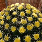 吉野川市市役所前の菊花展の菊は生き生きと咲いていました。      ・満開の菊に勢のありにけり(和良)