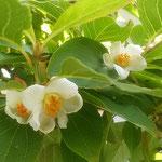 我が家の庭の沙羅が花をつけました。沙羅は夏椿とも呼ばれています。  ・葉に隠れ白つつましき沙羅の花(和良)