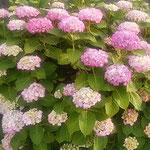 藍住町の農家のお屋敷に大きな紫陽花が咲いていました。 ・篤農の大きな屋敷濃紫陽花(和良)