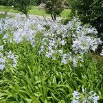 徳島市の史跡公園で見たアガパンサスです。              ・梅雨晴れのアガパンサスの青さかな(和良)