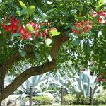 江の島で見たディゴの花です。夏の日差は厳しく南国のようでした。  ・江の島に広い庭園ディゴの花(和良)