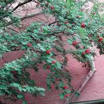 モスクワのクレムリン武器庫の入り口に咲いていた「ななかまど」です。 ・クレムリン赤き城塞ななかまど(和良)