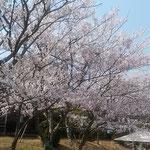鳴門市の大毛島にあるリゾートホテルの桜は散り始めていました。    ・ささやかな風に桜の散り急ぐ(和良)
