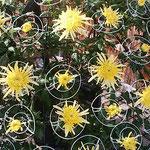 菊花展が始まったばかりの二分咲きの菊にも豊かな香りがありました。  ・二分咲きの菊にも確かなる香り(和良)