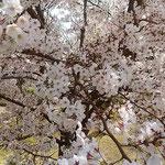 とくしま植物園の市民の森の桜は散り始めていました。         ・急かされてゐるがごとくに桜散る(和良)