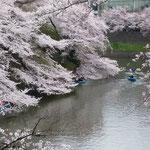 東京の千鳥ヶ淵の桜です。大勢の人が来ていました。            ・水面にも千鳥ヶ淵の桜かな(和良)