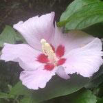 徳島市の文化の森の裏庭で木槿の花が残り咲いていました。 ・残り咲く木槿の花の鮮やかさ(和良)