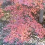 旧芝離宮恩賜庭園の冬紅葉は真っ赤なものもあり、輝いて見えました。  ・冬紅葉真っ赤や恩賜庭園に(和良)