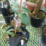 阿南市の椿自然園の温室では取木されている椿もありました。      ・取木さる椿に注がるる眼(和良)