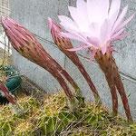 開いたばかりの仙人掌の花は朝日にまばゆく輝いていました。 ・朝の日に仙人掌の花輝いて(和良)