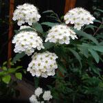 中庭の小手鞠の花は黒い塀を背景に白が際立って見えました。      ・黒塀に小手鞠の色極まりぬ(和良)