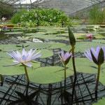 掛川市の花鳥園では大きな池に色々な睡蓮が咲き競っていました。  ・睡蓮の池ひろびろと花鳥園(和良)