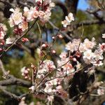 皇居東御苑の梅林坂の梅です。太田道灌が植えたと伝えられています。 ・道灌の梅道灌の城跡に咲き(和良)